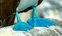 Blue Footed Booby - John Culver